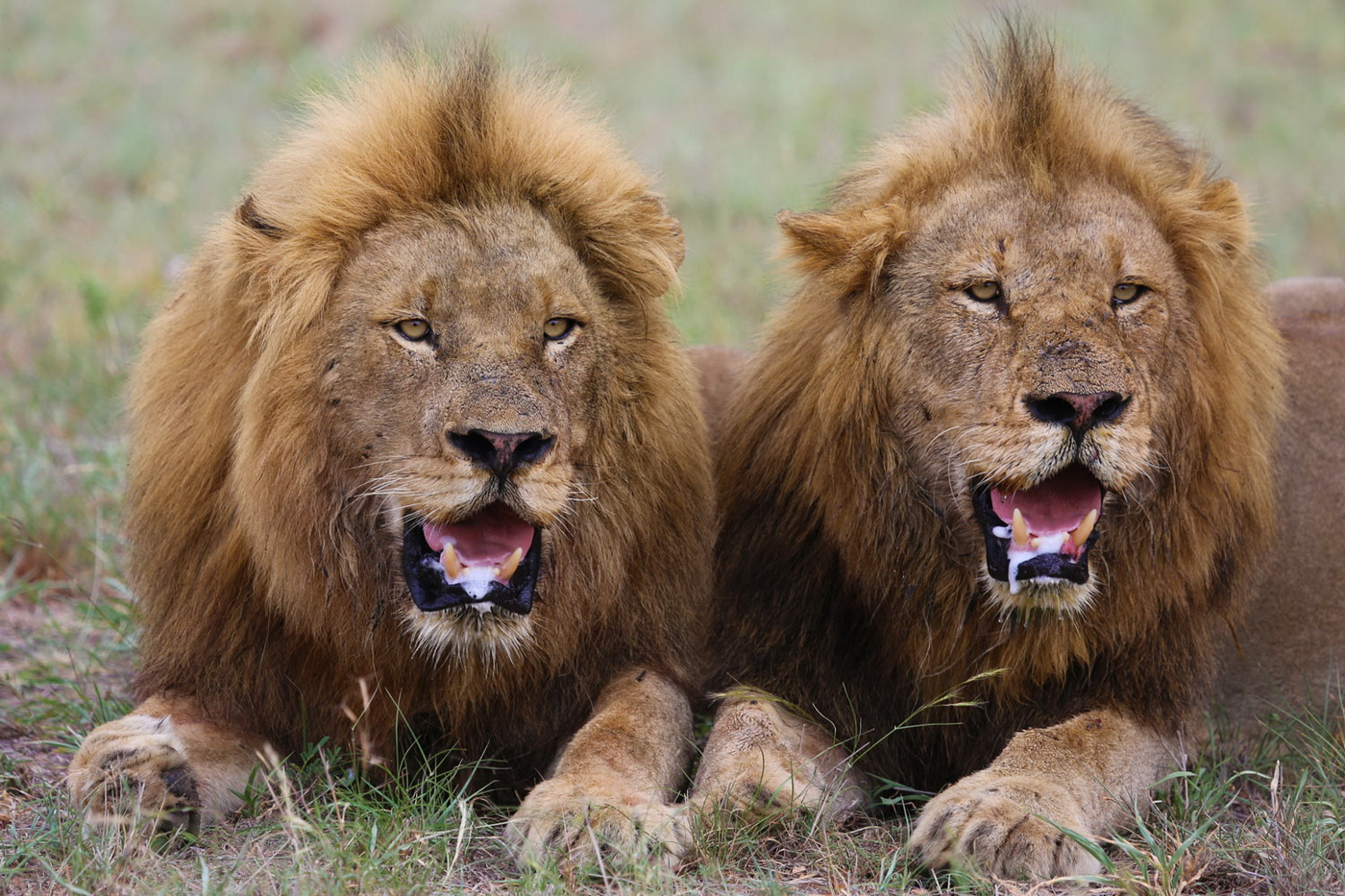 Male Lion Coalition