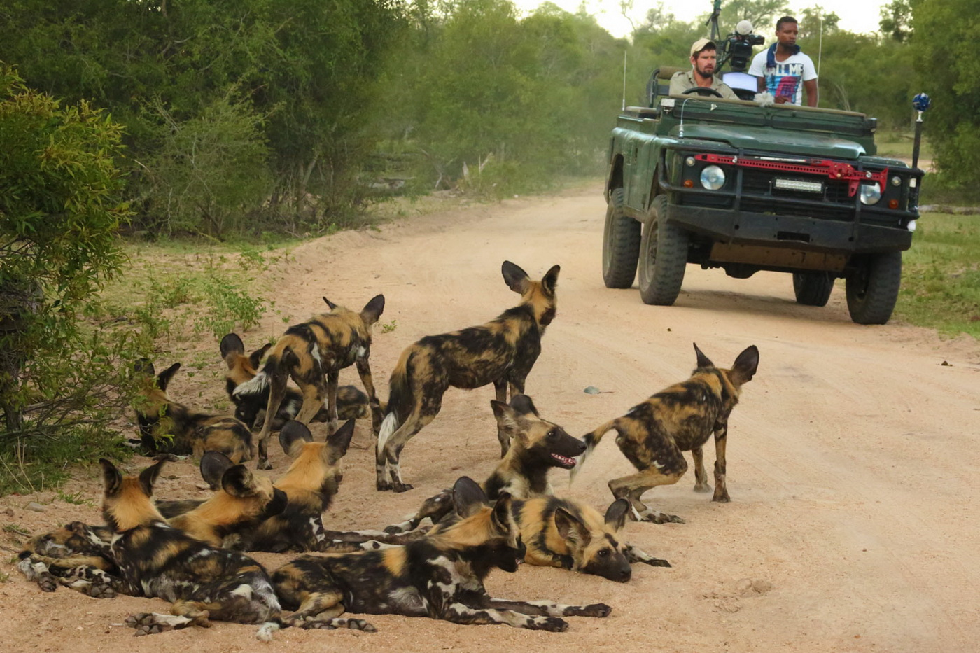 African Wild Dog Encounter