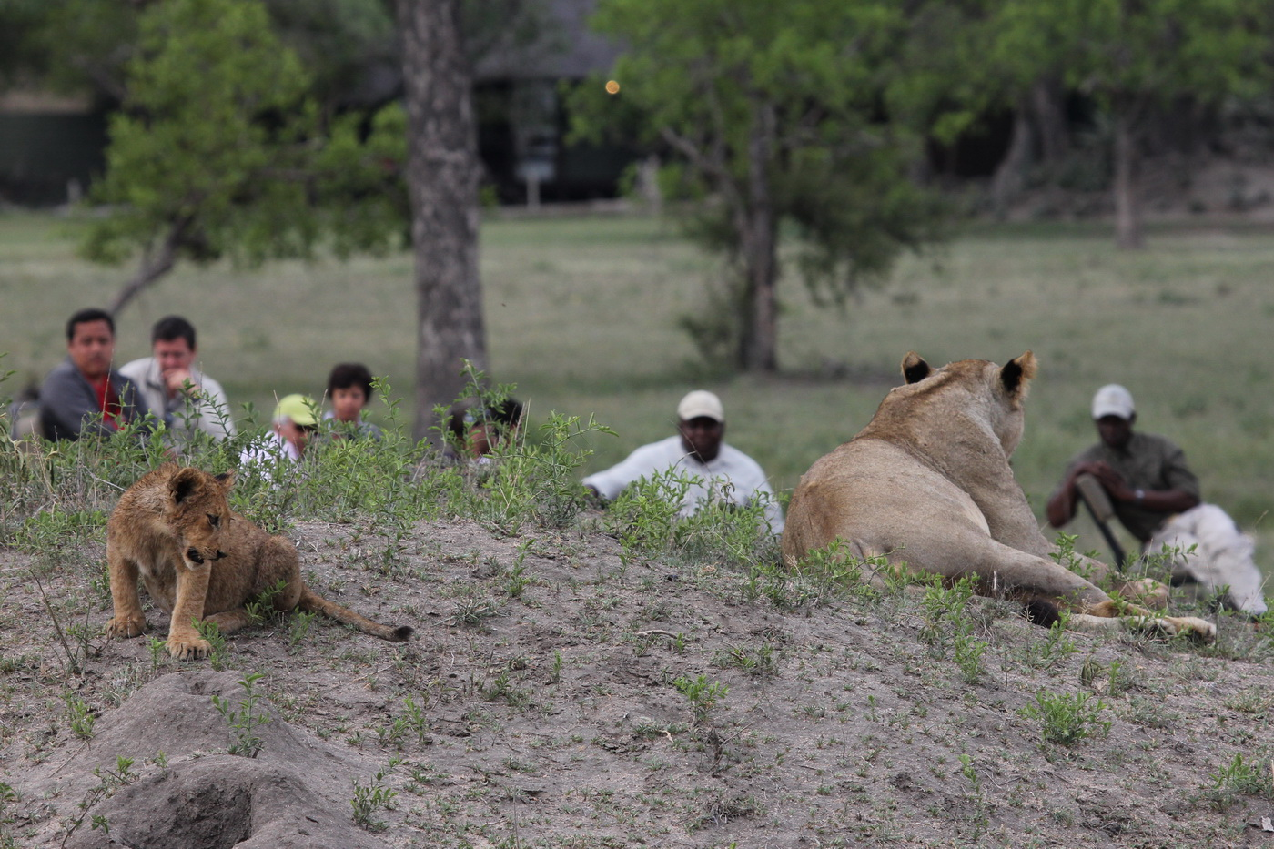 Being watched by Lions