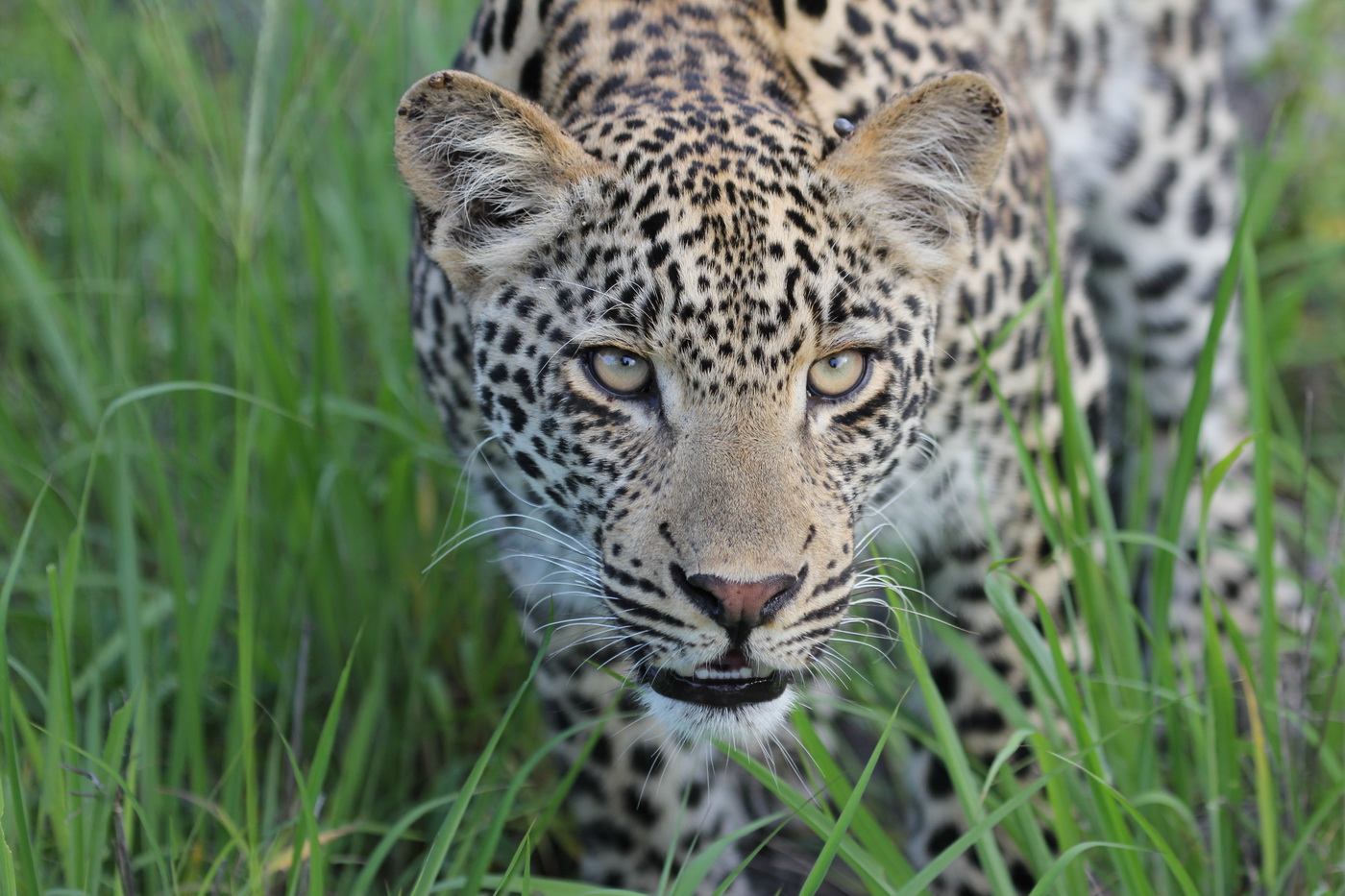 Up close with an African Leopard