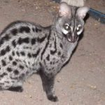 lesser-spotted genet