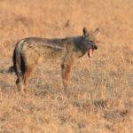 side-stripped jackal