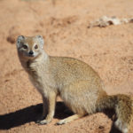 yellow-mongoose
